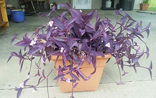 5 Cuttings Purple Heart Wandering Jew - Tradescantia Pallida Purpurea
