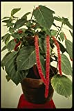 124011 Acalypha Hispida Chenille Plant A4 Photo Poster Print 10x8