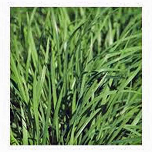 25+ SEEDS ORGANIC NON GMO CUMIN SEED HERB SEED FOR GROWING HEIRLOOM