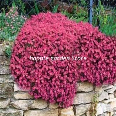 100 Aubrieta Cultorum bonsaïs pour Tolerant Rock Garden sécheresse de Villa Park dans Une variété de vivaces Places au Sol Couvert végétal: 365016