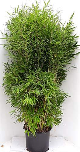 otto bambus