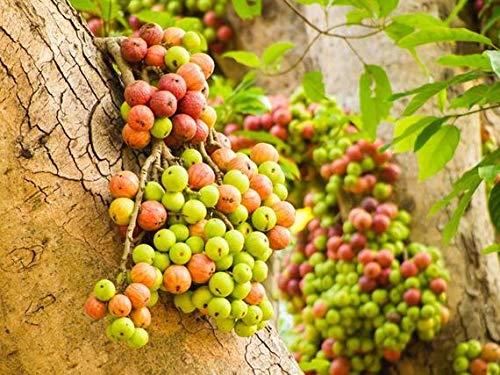Ficus hispida Rare Figuier Graines tropicales des plantes ornementales Bonsai ou Standard (10)