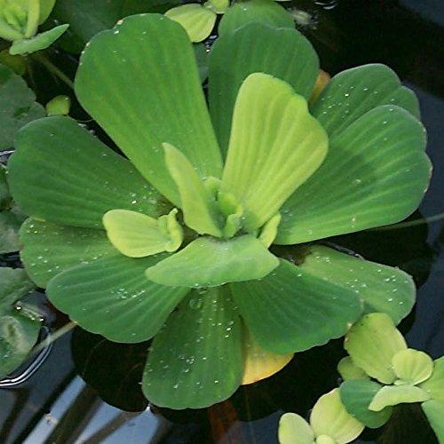 AquaLeaf Aquatics 3 Water Lettuce - Easy Live Floating Pond Plants