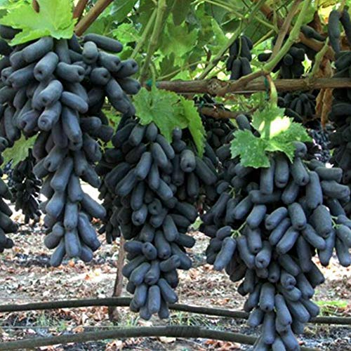 Nahrhafte Früchte Baum Traubenkernöl Saatgut, Kletterpflanze WeinrebeTrauben Vitis Vinifera Bonsai Obst Samen Seltene Arten Schwarz Rote Lila Grüne Golden Rose Finger Fruchtstände