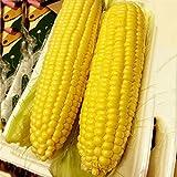1 Paquet 50g Graines De Maïs Doux Légumes, Saison Standard Jaune Alimentaire Semis Graines Céréales Graines Graines De Légumes