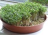 Gekräuselt Cress 1000 Samen Babarea Vernapraecox ez wachsen CombSH E14