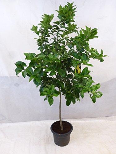 "[Palmenlager] - XXL Citrus limon\""Eureka\"" / Echter Zitronenbaum / 200 cm - Zitrone"