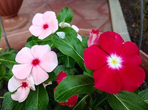 NIKA SEEDS - Flowers Periwinkle Madagascar Mix - 20-40 Seeds