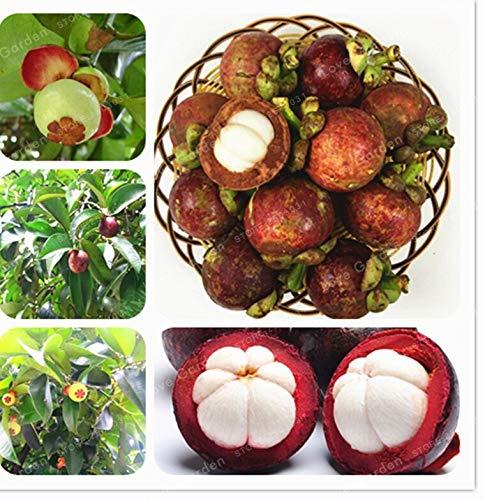 Mangostan Semillas Marca Bloom Green Co.