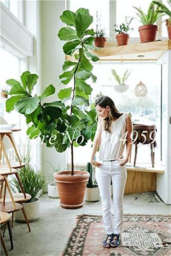 RETS Bonsai 50 PC chinesische Ficus benjamina Bonsai Pflanzen Blumen Topf Bonsai Variety komplette Hausgarten-Anlagen Easy Grow: 8