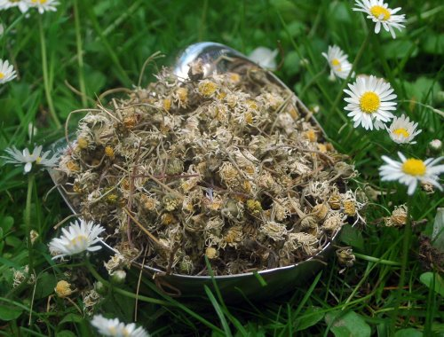 Naturix24 – Gänseblümchentee, Gänseblümchen ganz – 500 g-Beutel