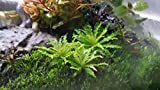 Pogostemon Helferi Downoi Small+ Free See Description, Live Aquarium Plants