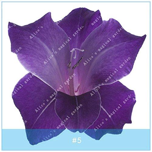 ZLKING 2 ampoules différentes vivaces Gladiolus fleurs d'orchidées Graines Plantes Bonsai Graines Lily Sare Pour jardin Plantation Violet