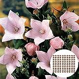 Semillas de plantas Semillas de atención flor de globo, 100pcs / Semillas globo...