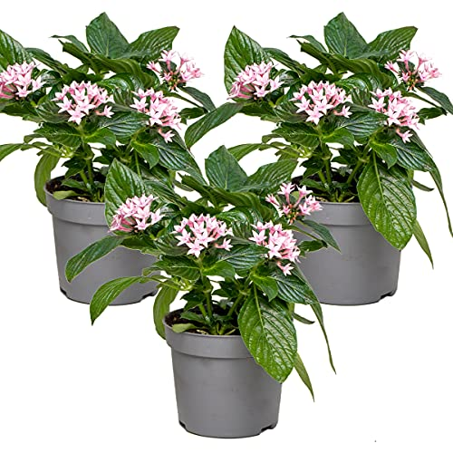 Sternpflanze Rosa   Kübelpflanze  Begrenzungspflanze - Zimmerpflanze im Anzuchttopf ⌀13 cm - ↕20-25 cm
