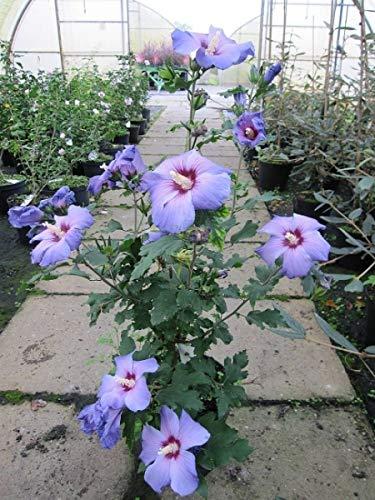Garten Eibisch Oiseau bleu - Hibiscus syriacus Oiseau bleu (40-60)