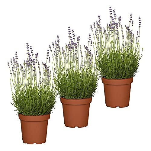 UNUS Garden Echter Lavendel Pflanze Lavandula Angustifolia Set Winterhart