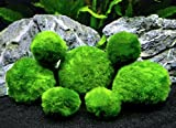 6 Marimo Moss Ball Variety Pack - 4 Different Sizes of Premium Quality Marimo from Giant 2.25 Inch to Small 1 Inch - World's Easiest Live Aquarium Plant - Sustainably Harvested and All-Natural