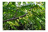 Phyllanthus emblica Seeds Indian Gooseberry Indoor -Outdoor Gardening Hummingbirds and Butterflies Love to Visit The Lovely Little red Blooms Blooms (10)