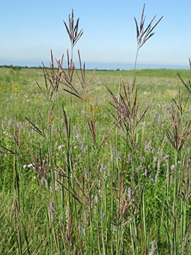 100+ Big barbon Seed - saison chaude indigène herbe