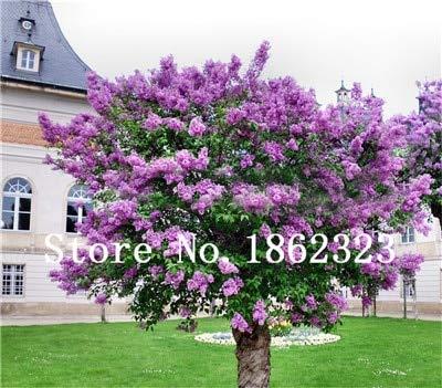 RETS 100 PC/Beutel Bonsai Lilac Bonsai Japanese Lilac (Extremely Fragrant) Nelke Blume Bonsai Flieder Bäume Außenanlage für Hausgarten: 7