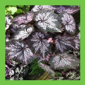 100 pcs Begonia Seeds, Potted Flower Seeds,Begonia Plants for Mini Garden,Variety Complete,The Budding Rate 9100%, (Mixed Colors) 6