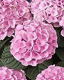 Hydrangea Macrophylla ist besser bekannt als Gartenhortensie und ist eine Pflanze mit einer schönen kugelförmigen Blüte. Diese Blüten gibt es in verschiedenen Farben und sie verleihen Ihrem Garten eine besondere Atmosphäre. Dies ist eine sehr einfach...