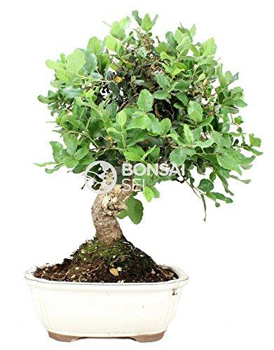 Bonsai - Encina, 12 Años (Bonsai Sei - Quercus)