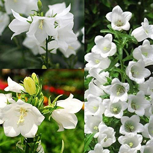 Soteer Garten - 50 Stück seltene Campanula Blumensamen Prachtglockenblume Saatgut Glockenblumen mehrjährig winterhart für Garten Balkon/Terrasse