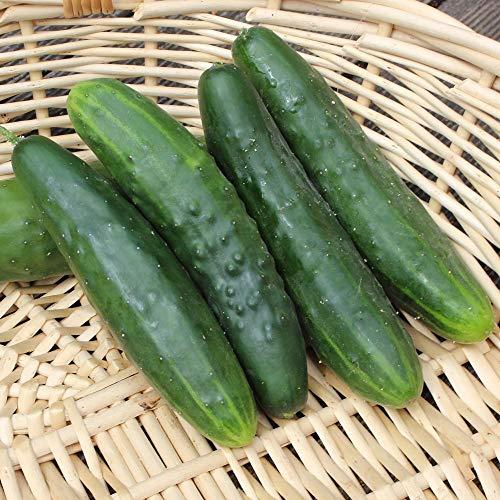 Samen für ca. 20 Pflanzen Marketer Gurke - Freilandgurke, ertragreich und widerstandsfähig