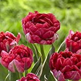 20 Eternal Flame Tulip Bulbs-- Double Late, New!! Pre-chilled Read for Spring!!