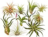 10 Air Plants Assorted Variety Pack by Bliss Gardens - 2 to 6 inches - Great Live Air Cleaning Plants for Home, Office and Terrariums