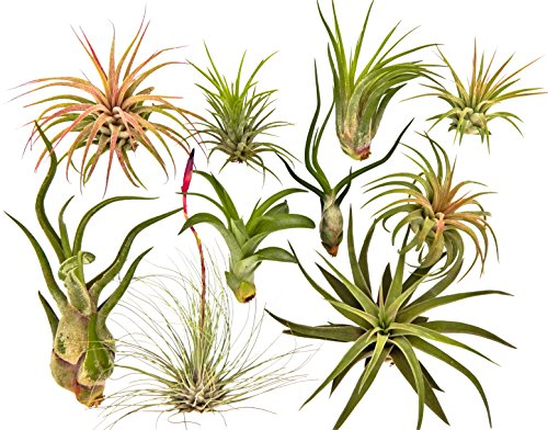 10 Air Plants Assorted Variety Pack by Bliss Gardens - 2 to 6 inches - Great Live Air Cleaning...
