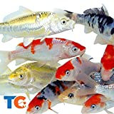 Toledo Goldfish Live Standard Koi for Ponds, Aquariums or Tanks  USA Born and Raised  Live Arrival Guarantee (4 to 5 inches, 10 Fish)