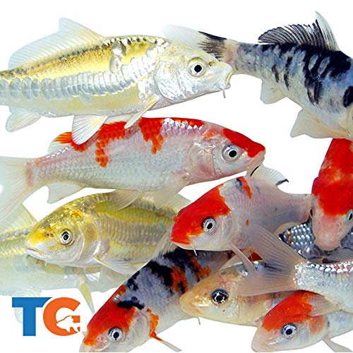 Toledo Goldfish Live Standard Koi for Ponds, Aquariums or Tanks – USA Born and Raised – Live Arrival Guarantee (4 to 5 inches, 10 Fish)