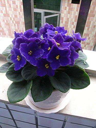 100pcs couleurs mélangées Mini Violet Graines, Graines violettes africaines, plantes Mini jardin Violet Fleurs vivaces Herb Matthiola Incana Seed 11