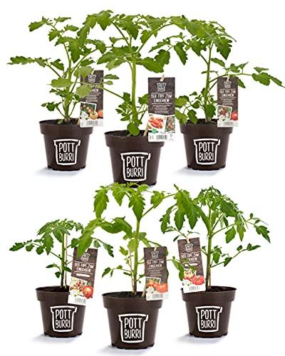 POTTBURRI® Tomaten Mix | Bekannt aus Die Höhle der Löwen | Ausgewachsene Tomaten-Pflanzen in Biologisch Abbaubaren Anzuchttöpfen aus Sonnenblumenschalen (6X unterschiedliche Sorten)