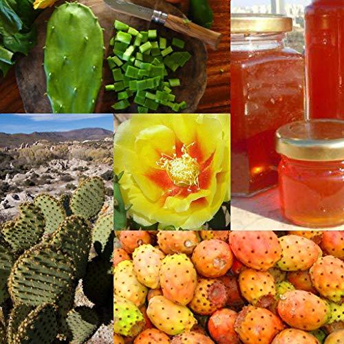 ScoutSeed Kaktusfeige-Opuntie Macrorhiza-Opuntia ficus-indica 10 Feinste Samen
