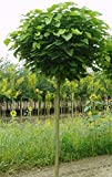Kugel-Trompetenbaum, Catalpa bignonioides Nana, Höhe: 180-190 cm + Dünger