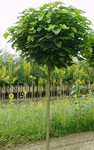 Kugel-Trompetenbaum, Catalpa bignonioides Nana, Höhe: 250 cm, Stammhöhe: 180 cm + Dünger