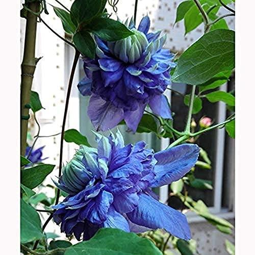 3 pezzi nuove varietà lampadine clematide a luce blu attraente tipo compatto fiore azzurro perenne piante rampicanti giardino in vaso balcone decor bonsai