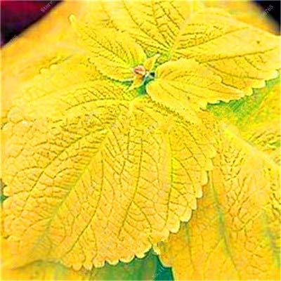 SANHOC Vente Hot 100 Pcs Bonsai Arc-en-Coleus Fleur Plantes Beau Feuillage Couleur Parfaite Dragon Balcon Begonia Bonsai Facile à cultiver: 2