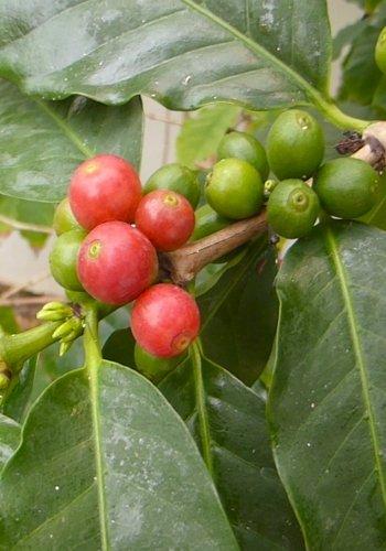 TROPICA - Arabica-Hochlandkaffee (Coffea arabica) - 10 Samen