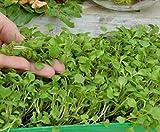 Microgreens - Cohete, rúcula - hojas jóvenes con un sabor excepcional - 800 semillas