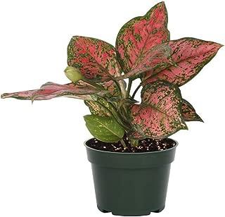 AMERICAN PLANT EXCHANGE Aglaonema Chinese Evergreen Hot Pink Valentine Live Plant, 6