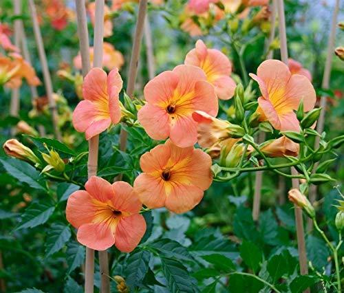 Campsis Klettertrompete Trompetenblume Kletterpflanze winterhart verschiedene Sorten (Grandiflora)
