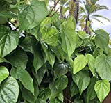 Fresh Betel Leaf, Paan, Piper Betel (10) NOT A Plant