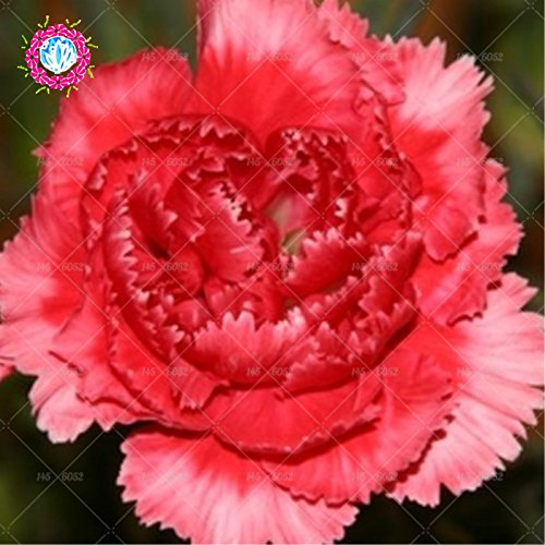 Rare Carnation Black Seeds Balcon Cour Jardin des Plantes en pot Rose Dianthus caryophyllus Graines de fleurs 100PCS Livraison gratuite 2