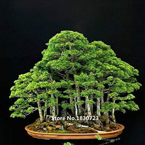10 Samen / pack Wacholder Bonsai-Baum-Samen Topfblumen Büro Bonsai reinigen die Luft absorbieren schädliche Gase