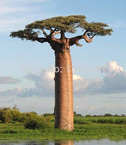 Schlussverkauf! 10 Stücke von seltenen Baobab Samen tropische Pflanze Gartensamen Haus & Garten - Arcis New